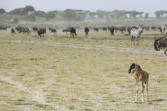 A young Wildebeest calf with the Migration herds in the Ndutu ar Royalty Free Stock Photos