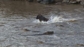 A young wildebeest jumps over a crocodile and escapes death. stock video