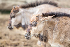 Young Wilderbeest Stock Image