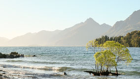 Young Willow Branches in Lake Wakatipu Glowing in Sunset Royalty Free Stock Image