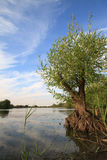 Young Willow tree on lake Royalty Free Stock Images