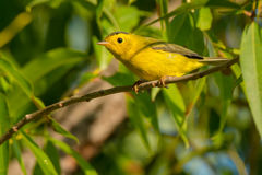 Wilson`s Warbler Royalty Free Stock Images