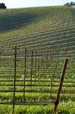 Young wine field Royalty Free Stock Image