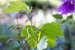 Young wine. Sprout in springtime Royalty Free Stock Photo