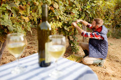 Young winemaker harvest the grape at his vineyard Royalty Free Stock Image
