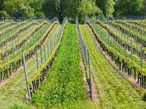 Young wineyard Stock Image