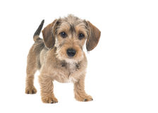 Young wirehaired dachshund standing looking at the camera with waging tail stock photo