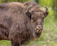 Young Wisent bull looking at camera. European bison. Juvenile Wisent (Bison bonasus) bull looking at camera making eye contact. With green background Royalty Free Stock Image