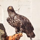 Young withe tailed eagle. Sitting on handler`s hand Stock Photo
