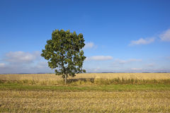 Young wolds way ash tree. A young ash tree in a harvested canola field with wheat in the background under a blue sky in late summer Stock Image
