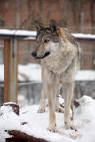 Young wolf. Female stanfing, zoo shot Stock Photos