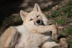 Young wolf Royalty Free Stock Photo
