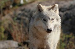 Young wolf Stock Images