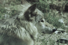 Young Wolf Cameo Royalty Free Stock Photography