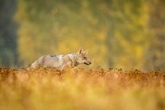 The young wolf, canis lupus lupus stock images