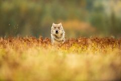 The young wolf, canis lupus lupus stock photography