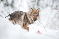 Young wolf eats a meat bone Stock Images