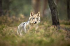 Young wolf. Into forest at autumn stock photos