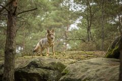 Young wolf royalty free stock images