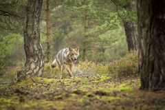 Young wolf royalty free stock image