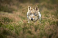 Young wolf royalty free stock photos