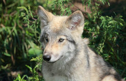 Young wolf in forest Royalty Free Stock Images
