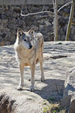 Young wolf in the Kyiv zoo. Ukraine stock photography