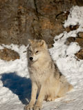 Young wolf pup calm attentive Stock Image