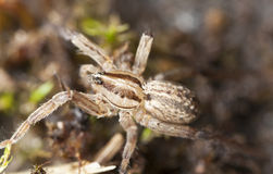 Young wolf spider Stock Image