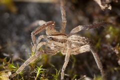 Young wolf spider Stock Photos
