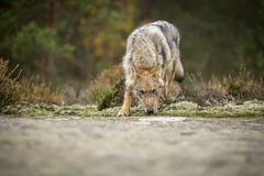 Young wolf royalty free stock photography