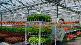 A young woman agronomist or greenhouse worker in a plaid shirt carries a cart with green plants in pallets for sale. Many flowers stock video footage