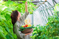 Young woman with basket of greenery and vegetables in the greenhouse. Harvesting time Royalty Free Stock Photography