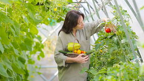Young woman with basket of greenery and vegetables in the greenhouse. Harvesting time stock footage