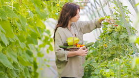 Young woman with basket of greenery and vegetables in the greenhouse. Time to harvest. stock footage