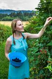 Young woman in blue dress picking blackberries Stock Photo