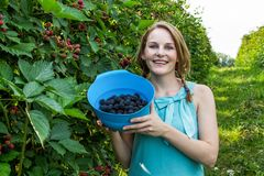 Young woman in blue dress picking blackberries Stock Images