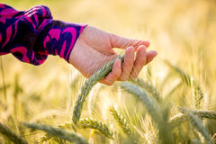 Young woman caressing ripening wheat Royalty Free Stock Photos