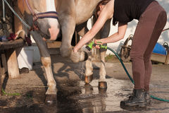 Young woman cleaning horse hoof by stream of water. Young woman washing  horse hoof by stream of water from a garden hose Stock Photos