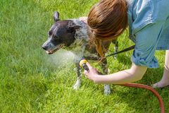 Young woman cleaning pet dog outside. Black and white mixed breed dog getting a hose shower  from his owner outside royalty free stock images