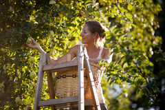 Young woman collecting apples in an orchard Stock Images