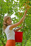 The young woman collects apricots in a garden Royalty Free Stock Image