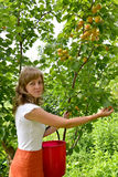 The young woman collects apricots in a garden Royalty Free Stock Photo