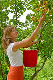 The young woman collects apricots in a garden Stock Photo