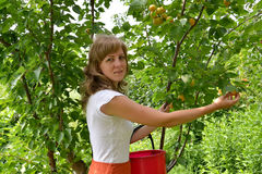 The young woman collects apricots in a garden Stock Images