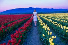 Young woman in colorful tulip fields at sunset. Tulip Festival at Skagit Valley. Mount Vernon. Seattle. WA.  United States Royalty Free Stock Photography