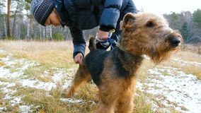 Young woman combing a dog breed Airedale on nature. A young woman is combing a dog breed Airedale on the nature, before a walk in the woods stock video footage