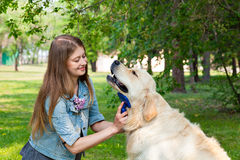 Young woman combing fur golden retriever dog on a green lawn Royalty Free Stock Photography