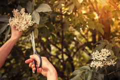Young  woman cutting elderflower with scissors Stock Photography