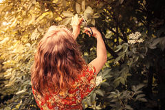 Young  woman cutting elderflower with scissors Stock Photo